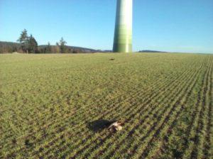 Rotmilan tot unter Windrad