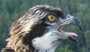 Auch durch das Engagement und Fachwissen von Falknern konnte sich der Fischadler wieder in Süddeutschland ausbreiten.