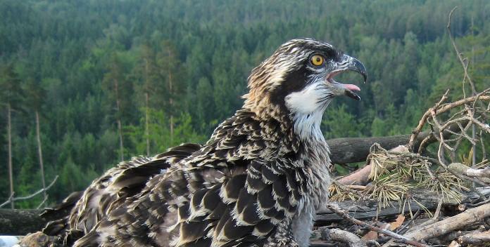 Bald kehrt der Fischadler wieder nach Bayern zurück Bild © VLAB
