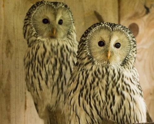 Habichtskauz-Zuchtpaar im Greifvogelpark Grafenwiesen