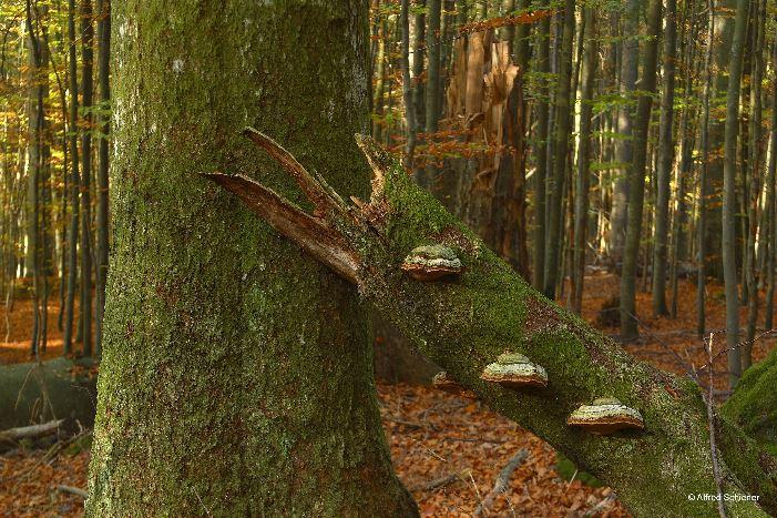 Stehendes, starkes Totholz ist noch immer sehr selten in unseren Wirtschaftswäldern. Bild © Alfred Schiener