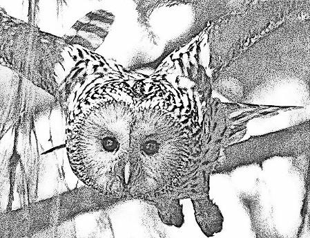 Habichtskauz (Strix uralensis) Bild © VLAB